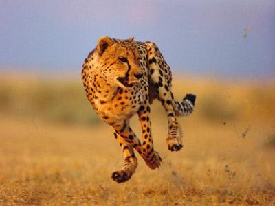 cheetah-speed-3