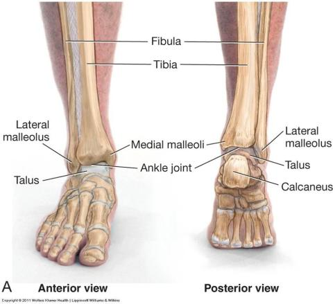 ankle_joint1312163293503