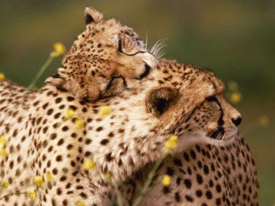 cheetahs-hugging