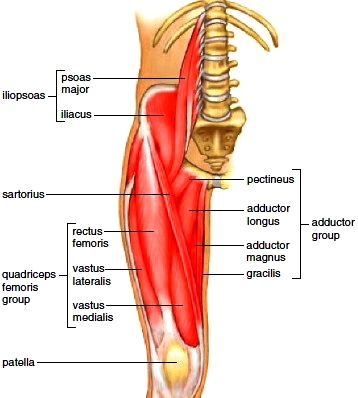 Muscles of the anterior right hip and thigh