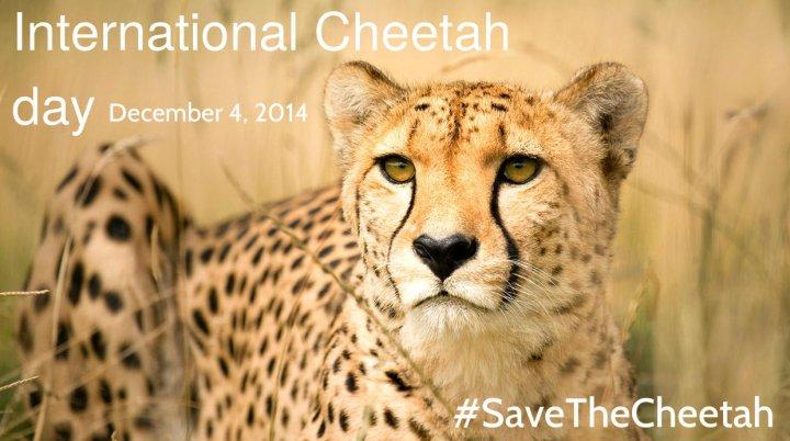 cheetahs-f